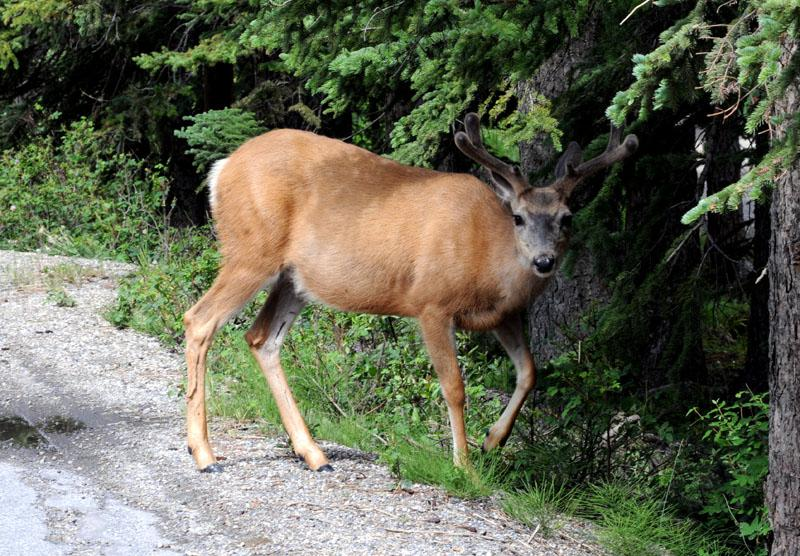 elk near Banff