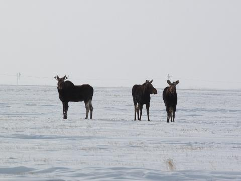 (c) Todd Harder / Weathernetwork - moose near Grand Coulee